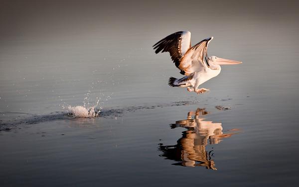 Pelican. Yamba, NSW, 2009. (20090816-IMG_7257-4)